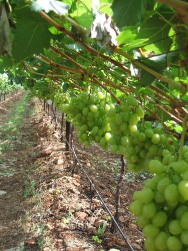 Grape 1 003